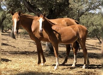 Anglo-Arab Mix, Gelding, Foal (03/2021), 16.2 hh, Chestnut-Red