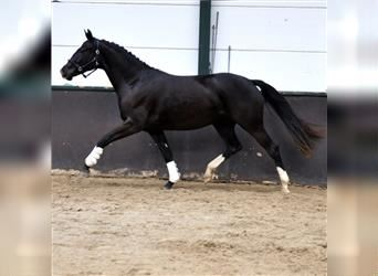 KWPN, Mare, 2 years, 15.3 hh, Black