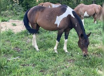 Paint Horse Mix, Hengst, 6 Jahre, 149 cm, Tobiano-alle-Farben