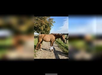 German Riding Pony, Mare, 7 years, 14.1 hh, Chestnut-Red