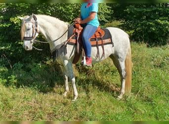 Other Breeds, Mare, 10 years, 15 hh, Gray