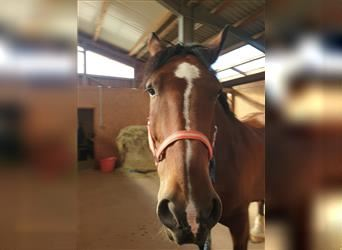 Other Heavy Horses, Gelding, 12 years, 16.2 hh, Brown