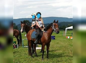 Other Thoroughbreds Mix, Mare, 8 years, 14.2 hh, Brown