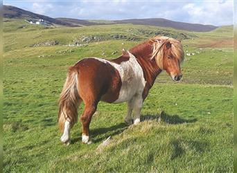 Shetland Ponies, Stallion, 6 years, 10 hh, Tobiano-all-colors