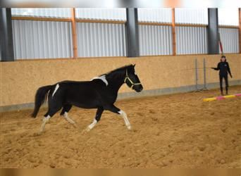 Lewitzer, Mare, 3 years, 13.3 hh, Pinto