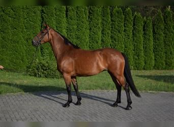 Other Warmbloods Mix, Mare, 4 years, 16 hh, Brown