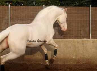 Andalusier, Hengst, 4 Jahre, 160 cm, Cremello