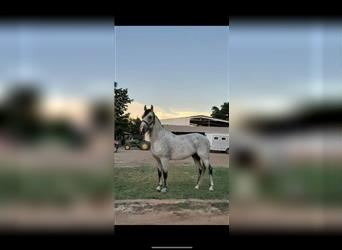 Andalusian, Stallion, 6 years, 18 hh, White