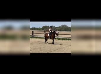 American Morgan Horse Mix, Mare, 7 years, 14.3 hh, Brown