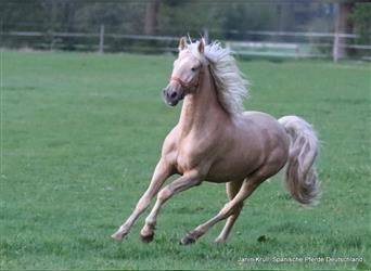 Andalusier, Wallach, 4 Jahre, 156 cm, Palomino