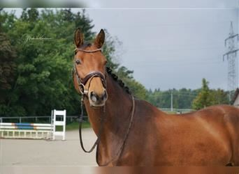 Baden Wuerttemberg, Mare, 13 years, 16 hh, Brown