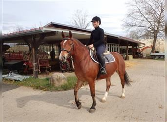 Freiberger, Mare, 3 years, 15 hh, Brown