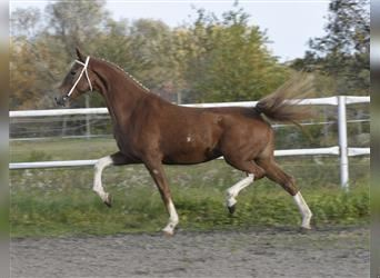 KWPN, Mare, 4 years, 16.3 hh, Chestnut-Red