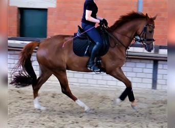 KWPN, Mare, 5 years, 16 hh, Chestnut