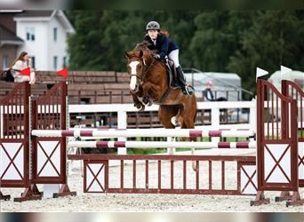 Other Warmbloods Mix, Mare, 5 years, 16 hh, Rabicano