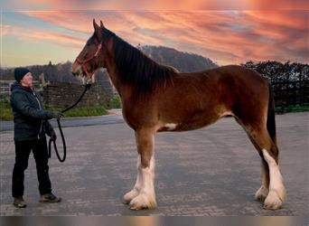 Shire Horse, Mare, 3 years, 17.1 hh, Brown
