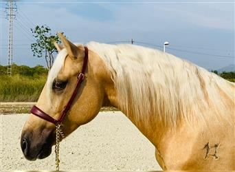 Andalusier, Hengst, 3 Jahre, 150 cm, Palomino