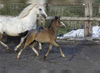 Welsh A (Mountain Pony), Stallion, 1 year, 11.2 hh, Gray