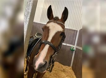 New Forest Pony, Gelding, 13 years, 14.1 hh, Brown