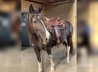 Pintos, Mare, 6 years, 14.2 hh, Pinto