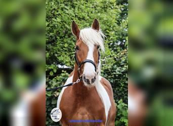 Pintos Mix, Mare, 9 years, 15.1 hh, Pinto