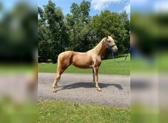 Tennessee walking horse, Mare, 1 year, 14 hh, Tobiano-all-colors