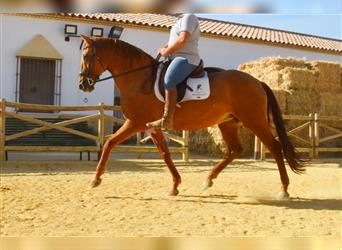 Andalusian, Mare, 14 years, 16.1 hh, Chestnut-Red