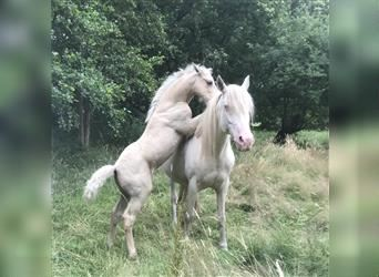Andalusier Mix, Hengst, Fohlen (05/2021), 165 cm, Palomino