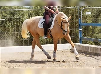 Andalusier, Wallach, 10 Jahre, 160 cm, Palomino