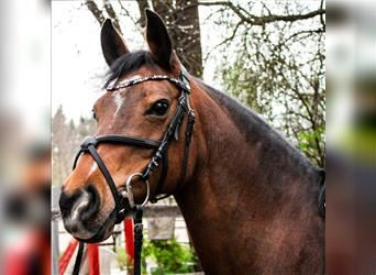 German Riding Pony, Mare, 12 years, 14.1 hh