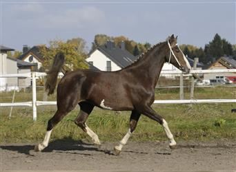 KWPN, Mare, 6 years, 16.1 hh, Chestnut-Red