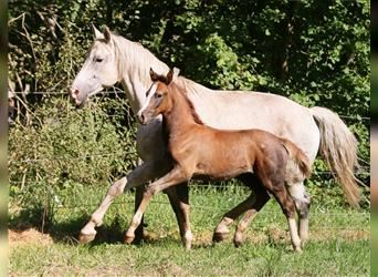 Small German riding horse, Mare, Foal (06/2021), 15.1 hh, Gray-Red-Tan