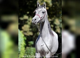 Straight Egyptian, Mare, 7 years, 15 hh, Chestnut-Red
