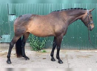 Anglo European Studbook Mix, Mare, 6 years, 16.1 hh, Bay