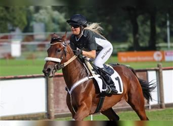 French Trotter, Mare, 4 years, 14.3 hh, Brown