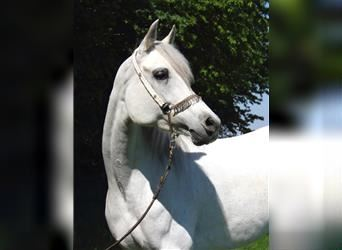 Straight Egyptian, Mare, 10 years, 15.2 hh, Gray
