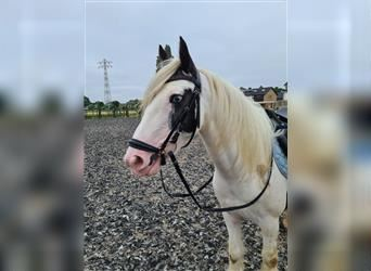Gypsy Horse, Mare, 5 years, 13.1 hh, White
