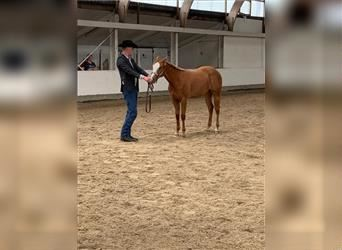 Quarter Horse, Mare, 1 year, 15.2 hh, Gray-Red-Tan