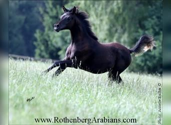 Straight Egyptian, Mare, Foal (01/2021), 15 hh, Smoky-Black