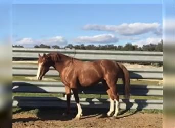 Anglo-Arab, Stallion, 13 years, 16 hh, Chestnut-Red