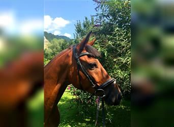 New Forest Pony, Gelding, 12 years, 14.2 hh, Brown