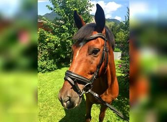 New Forest Pony, Gelding, 12 years, 14 hh, Brown
