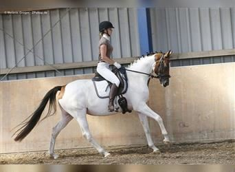 Trakehner, Mare, 6 years, 16.1 hh, Pinto