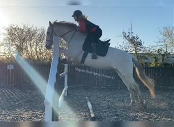 Andalusier, Stute, 12 Jahre, 157 cm