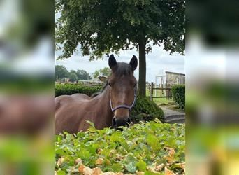 Ardennes, Mare, 3 years, 15 hh, Brown