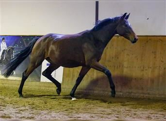 Hanoverian, Mare, 9 years, 17 hh, Brown