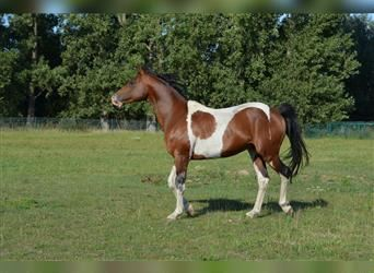 Arabian Partbred Mix, Stallion, 12 years, 15.2 hh, Tobiano-all-colors