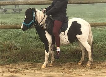Curly Horse Mix, Wallach, 4 Jahre, 110 cm, Rappe