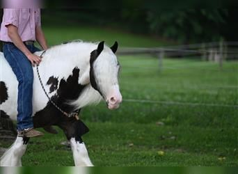 Gypsy Horse, Gelding, 5 years, 14 hh, Tobiano-all-colors