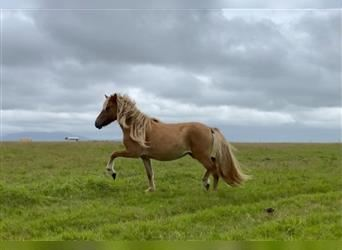 Icelandic Horse, Mare, 2 years, 13.2 hh, Champagne